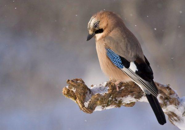 Bird on snowy branch